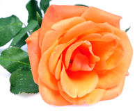 Orange blooming flower Stock Image