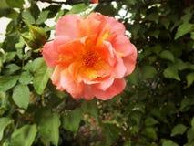Orange blooming garden rose royalty free stock photo