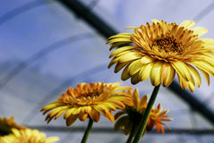 Orange blooming Gerbera plant in the nursery.blurred background at sunny day Stock Photos