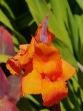 An orange blooming gladiolus flower Royalty Free Stock Images