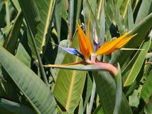 A orange blooming strelitzia flower Royalty Free Stock Photo