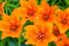 Orange blooms of lily Royalty Free Stock Photography