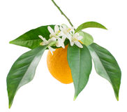 Orange  and  blossom. Orange on a branch with leaves and  blossom  isolated on a white background Stock Photo