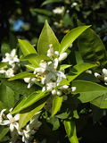 Orange blossom royalty free stock photos