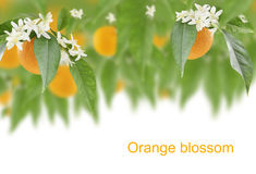 Orange blossom Stock Image