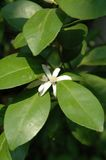Orange Blossom Stock Photography