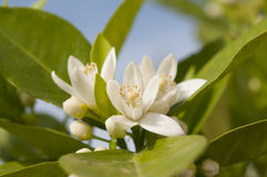 Orange blossom, Citrus Flowers Royalty Free Stock Images