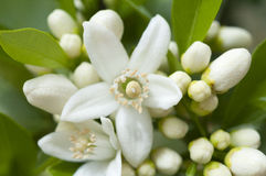 Orange blossom, Citrus Flowers Stock Photography