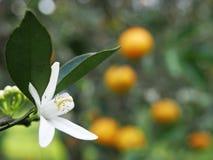 Orange blossom Stock Images