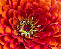 Orange blossom Royalty Free Stock Image