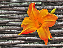 Orange blossom of a day-lily Royalty Free Stock Photo