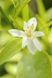 Orange-blossom flower. Food, gastronomy,culinary,cookery Stock Photo