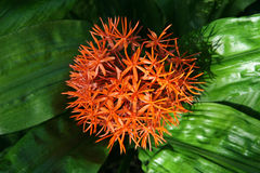 Orange blossom flower of tropical plant. Orange closeup blossom flower of tropical plant Stock Photos