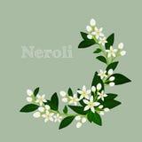 Orange blossom: flowers, buds and leaves. Floral design card fleur d'orange (neroli). Vector illustration. Royalty Free Stock Images