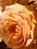 Orange blossom rose on spring sunny day royalty free stock image