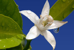 Orange Blossom Special on Blue. White Orange Blossom with Water Drop in Full Bloom Against Blue Sky Royalty Free Stock Photo