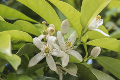 Orange blossom in spring, azahar flower Stock Photos