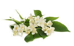 Orange blossom zagara Stock Photography