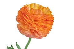 Orange blossomed buttercup on on white background Stock Images