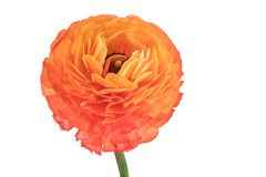 Orange blossomed buttercup on on white background Stock Image