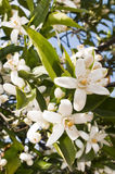Orange Blossoms Stock Photography