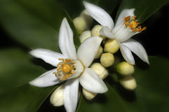 Orange Blossoms. Smell good orange blossoms stock photo