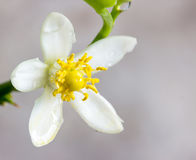 Orange blossoms on branch Royalty Free Stock Images