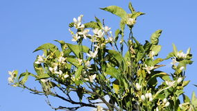 Orange blossoms moved by the wind. A branch with orange blossoms moved by the wind stock video