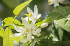 Orange blossoms in spring Stock Photo