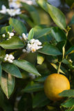 Orange Blossoms Stock Image