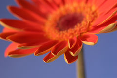 Orange on blue 2. Orange flower closeup angled toward camera with ner-petals in closeup and the rest of the flower blurred Stock Images