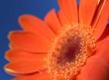 Orange on blue 3. Orange gerbera flower closeup with sky blue background Royalty Free Stock Image
