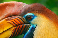 Orange and blue bird head. Knobbed Hornbill, Rhyticeros cassidix, from Sulawesi, Indonesia. Rare exotic bird detail eye portrait. Wild nature Stock Photos