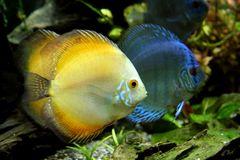 Orange and Blue Discus Fish. In a tropical freshwater aquarium Stock Photography