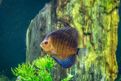 Orange and blue discus fish Symphysodon aequifasciatus Royalty Free Stock Photo