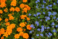 Orange and blue flowers Stock Photos