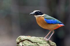 Orange Blue Green and White Bird on Rock Stock Photo