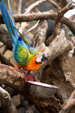 Orange blue parrot sitting on wooden branch drinking water from bowl. Stock Image