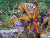 Orange, blue, and red Spiny Brittle Star. Surrounded by a Banded Brittle Star, Christmas Tree Worms, and Club-tipped Anemones. It was found off of central stock photo