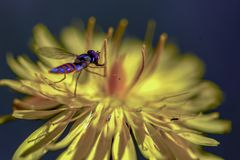 Orange and blue striped hoverfly resting on a dandelion flower stock image