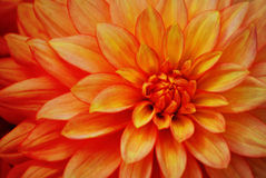 Orange Blume Stockbilder