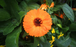 Orange Blume Stockbild