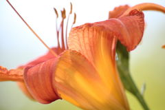 Orange Blume Lizenzfreie Stockfotos