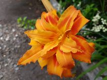 Orange Blume Lizenzfreie Stockfotos