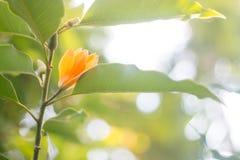 Orange Blume auf dem Niederlassung Jum-Pipi oder dem Jum Winkel des Leistungshebels Stockfoto