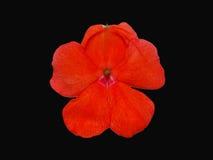 Orange Blume auf Schwarzem Stockfotografie