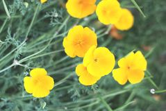 Orange Blume Escholzia auf einem Minze-farbigen grünen Hintergrund lizenzfreie stockfotos
