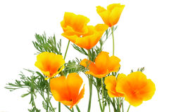 Orange Blume-funken Sie Stockfotos