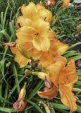 Orange Blume im Garten Stockbilder