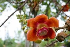 Orange Blume Kanonenkugel-Baum Lizenzfreies Stockbild